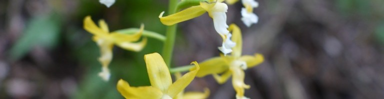 トクサランとサクラツツジ開花