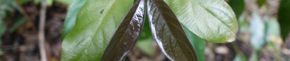 ルリミノキの新芽