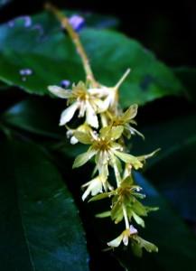 シマウリカエデの花(アップ)