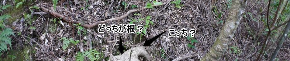 どっちが根?