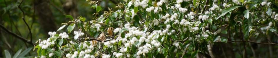 雪が積もったようなアマシバの花
