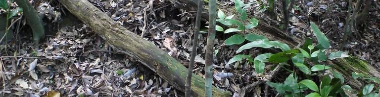 根からヌルデの幼木