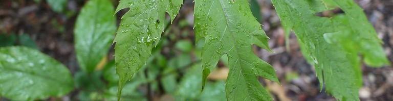 切れ目の入ったフカノキの葉