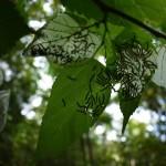 食べられるシマグワの葉