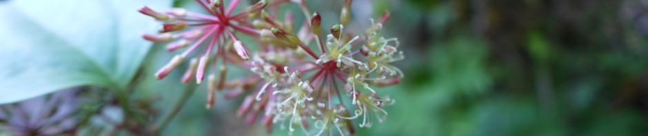 サツマサンキライの花