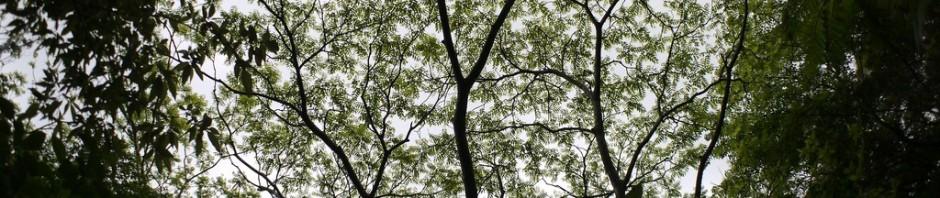 ハゼノキの葉がグングン広がってます