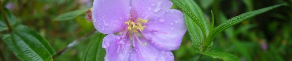 雨にぬれるノボタン