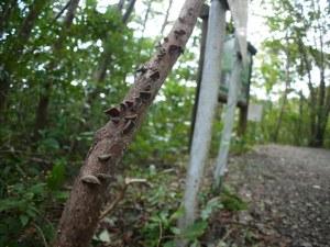 朽木にキクラゲ