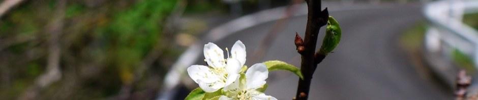 季節外れのスモモの花