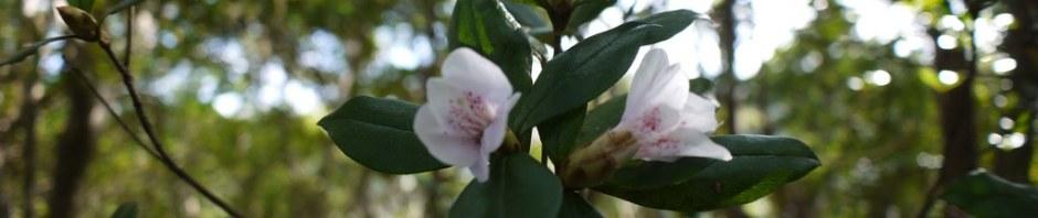 サクラツツジ開花