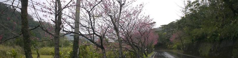 ヒカンザクラ満開、スモモも咲き始め