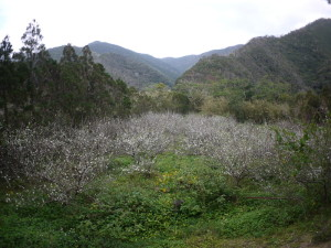 知名瀬のスモモ畑