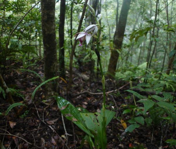 森の中もカクチョウラン開花