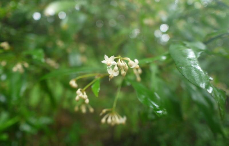 シシアクチの花