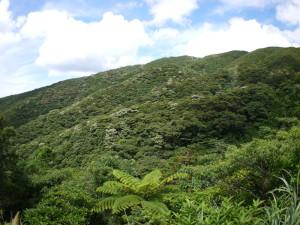 イジュの咲く森