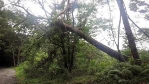 松の倒木に潰されたエゴノキ