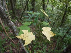 シマウリカエデの黄葉