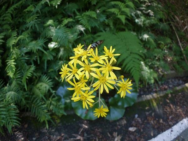 ツワブキの花にアサギマダラ