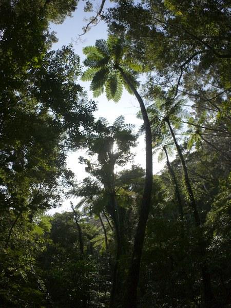 ヒカゲヘゴの画像 p1_26