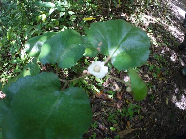 ホウロクイチゴの花が上向き