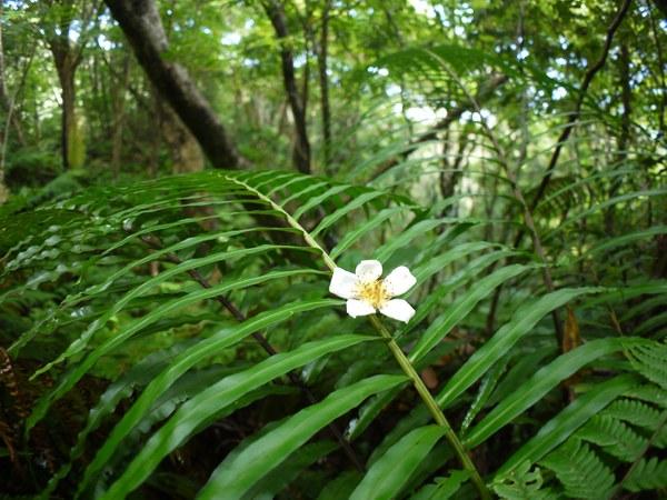 ヒリュウシダの上にイジュの花