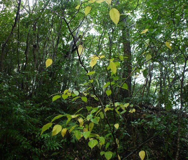 シマグワの黄葉