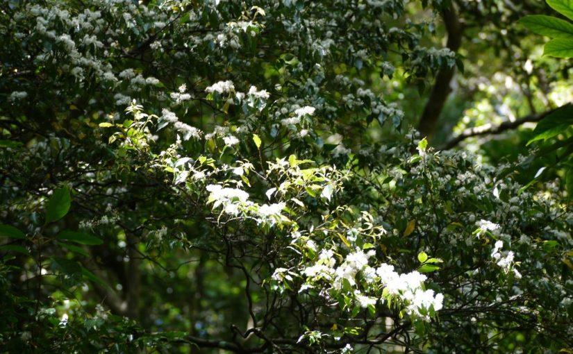 森の中のアマシバも咲いてます
