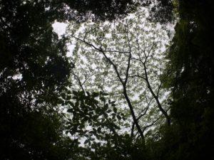 ハゼノキの新芽