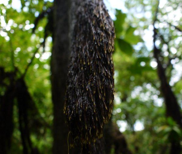ヒカゲヘゴの毛根