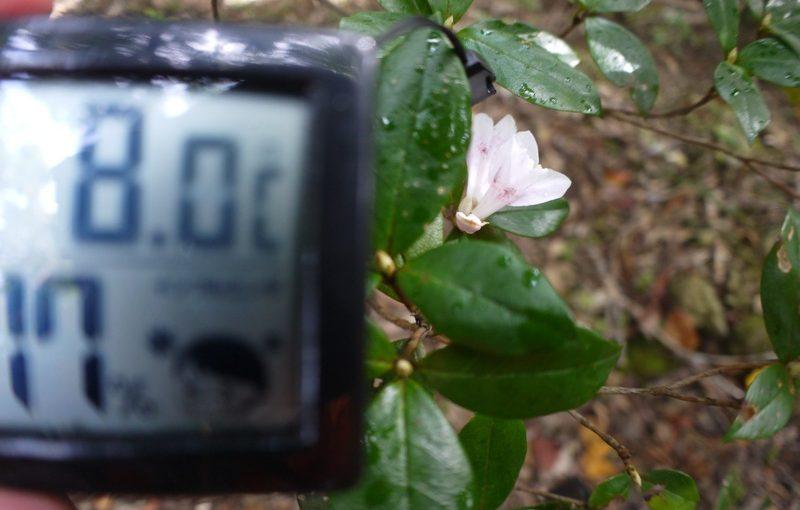 サクラツツジ咲きました、が、寒い!