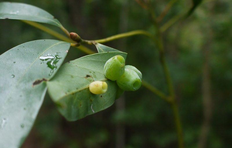 タブノキの葉裏に臼のような虫こぶ