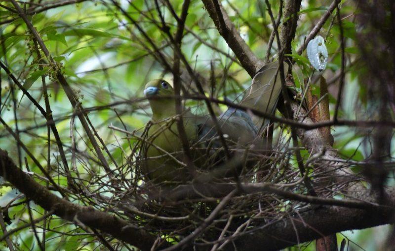 ズアカアオバト、巣作り中