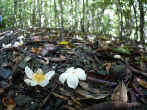 林床のイジュの花