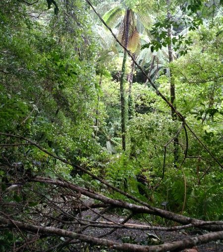 メインのヒカゲヘゴと倒木