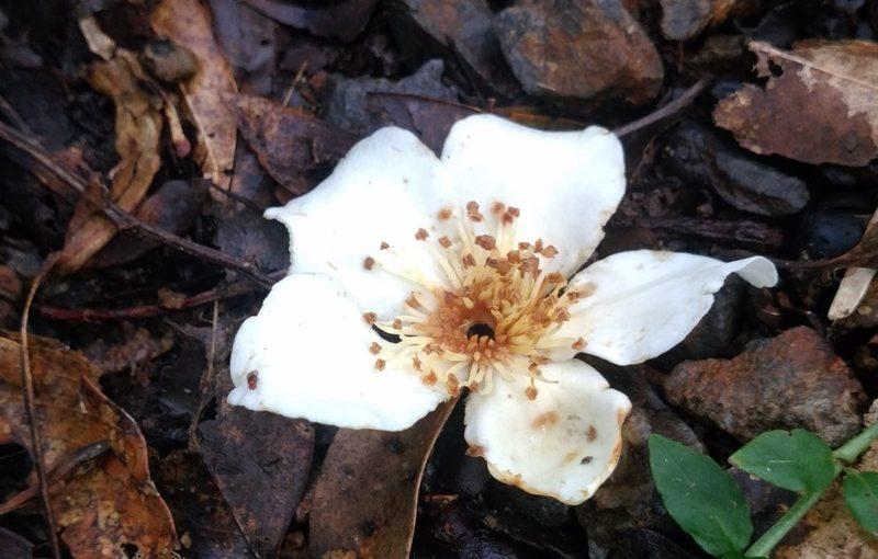 季節外れのイジュの花