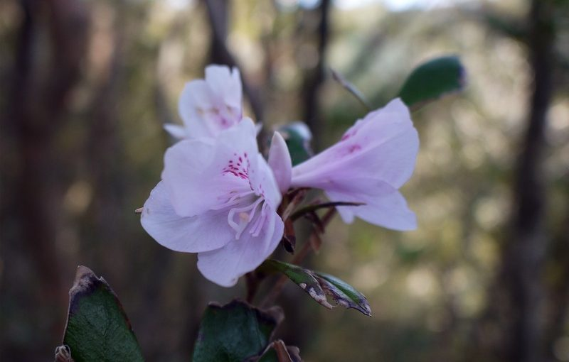 サクラツツジ、咲き始めました。