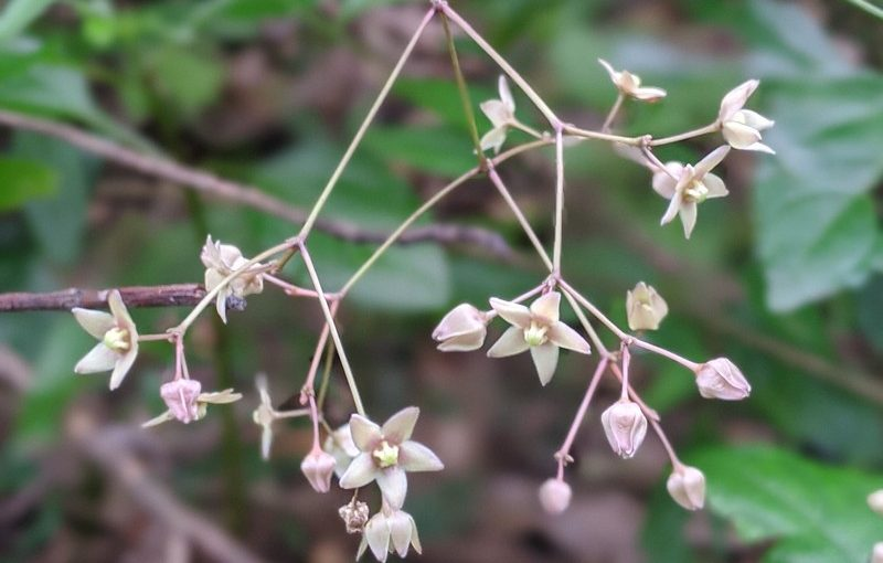 白花(?)トキワカモメヅル