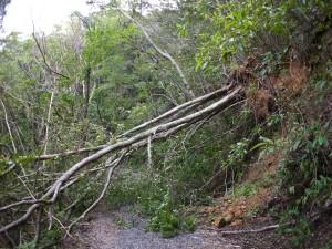 道を塞ぐ倒木