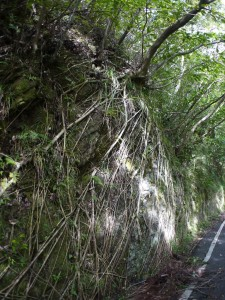 岩を覆う根