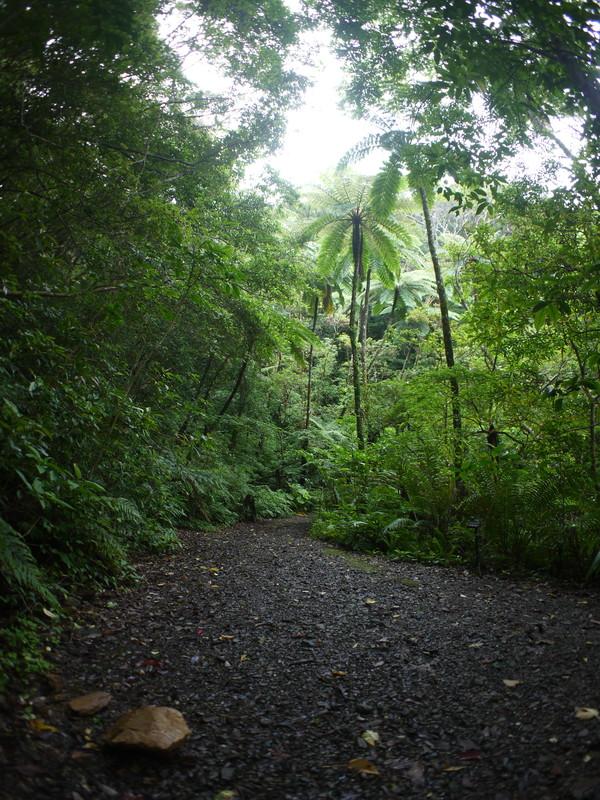 メインポイントのヒカゲヘゴと散策路