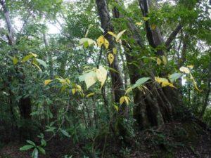 イヌビワの黄葉