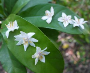 エゴノキの花(4枚/8枚/6枚/5枚)