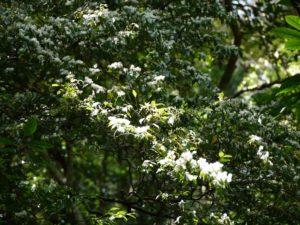 アマシバの花