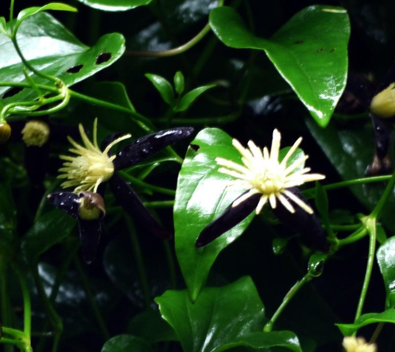 ヤエヤマセンニンソウの花