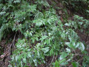 ルリミノキの中のズアカアオバト