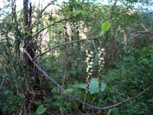 ナンバンギブシの花