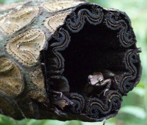 枯れたヒカゲヘゴの茎の中にリュウキュウアカガエル